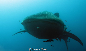 In the face whale shark shot! Say cheese....! by Lance Teo