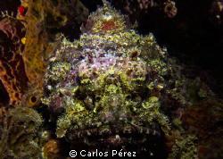 Stone fish (Scorpion) in the shadows. Taken on a Nigth Di... by Carlos Pérez