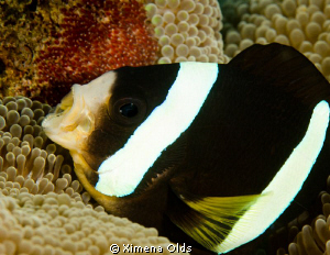 Anemone Fish blowing its eggs. by Ximena Olds