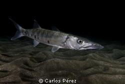 Barracuda, I found this baby lost in the dark on a Nigth ... by Carlos Pérez