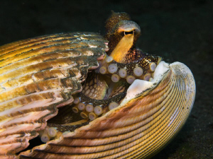 Amphioctopus marginatus in a shell by Alex Varani