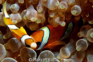 Clown fish giving me the eye by Marylin Batt