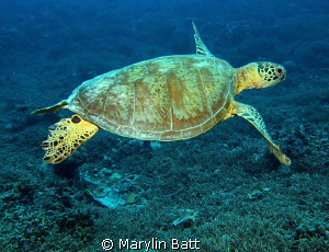 Green Sea Turtle just crusin along by Marylin Batt