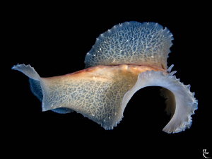 Flying flatworm ( nightdive photo ). by Rico Besserdich