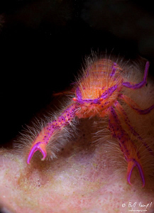 Hairy Squat Lobster by Bill Lamp'l