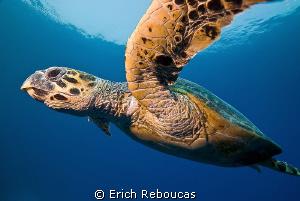 Hawksbill turtle cruising by Erich Reboucas