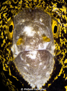 Snowflake moray eel portrait, Milne Bay, PNG by Michael Gallagher