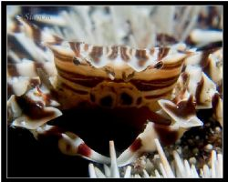 Smile! U R on CAMERA! -zebra urchin crab Close up, taken ... by Han Peng Lim