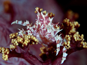 Candy Coral Crab. Komodo, Indonesia. Canon G10, dual inon... by Stephen Holinski