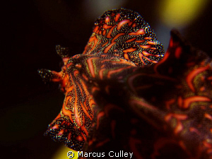 Flatworm on the move at Dili Rock. by Marcus Culley