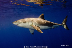 Great White Shark in Guadalupe Island. What a beautiful c... by Jose Manuel Fuentes Canalejo