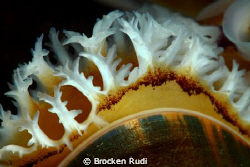 Gills of mussels by Brocken Rudi