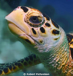 Noble appearing hawksbill at Capt Don's by Robert Michaelson