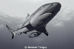 GreyReefShark & FreeDiver / Rangiroa by Bonduel Tanguy
