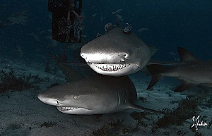 Over and under these Lemon Sharks enjoy the company of di... by Steven Anderson