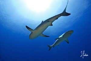 Reef Sharks float in mid water - Bahamas by Steven Anderson