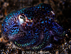 3 inch bobtail squid. So cute and very shy. Canon S90 by Jackie Campbell