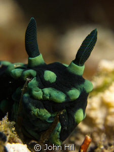 Smile! Nembrotha pushing against some coral 'twigs'.  It ... by John Hill