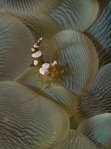 Thor amboinensis on Plerogyra sinuosa by Alex Varani