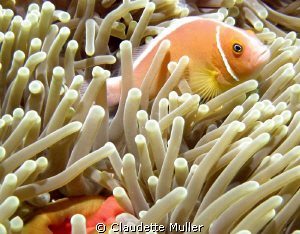 Anenome Fish. Taken in Palau around 60 feet. Dive site wa... by Claudette Muller
