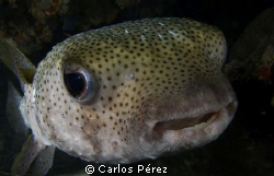 porcupinefish headed straight toward during a night dive. by Carlos Pérez