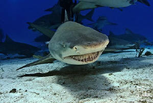 Lemon Shark make it's pass at Tiger Beach - Love these gu... by Steven Anderson