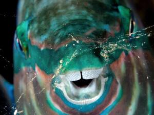 Parrotfish sleeping - Komodo, Indonesia. by Stephen Holinski