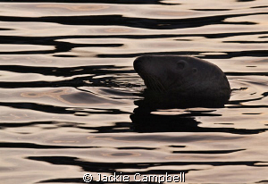 The golden hour. Common harbour seal enjoying the last l... by Jackie Campbell