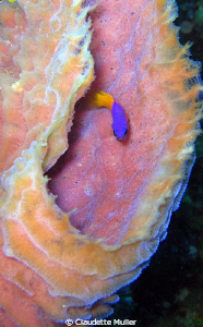 Loved the color combination of this tiny basslet inside a... by Claudette Muller