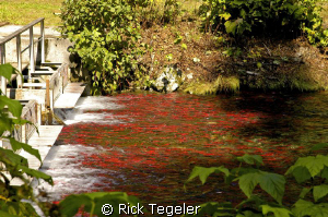 Fresh Water Kokanee Spawn... fish ladder on Meadow Creek,... by Rick Tegeler