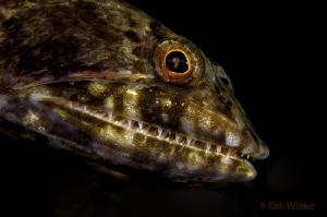Pretty!  Common Lizard Fish.  105mm. by Richard Witmer