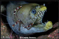 viper moray and boxer shrimp on a night dive by Cedric Peneau