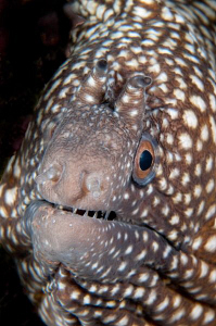 Ascension Island Fang Tooth Moray by Paul Colley