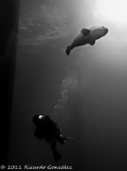 Giant grouper and diver by Ricardo Gonzalez