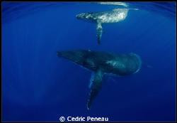 whale, calf and escort by Cedric Peneau
