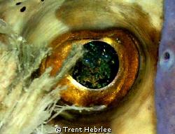 Puffer Eye-looks like the fire of a black opal. by Trent Hebrlee