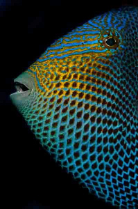 Ascension Island Black Durgon.  This Trigger Fish looks a... by Paul Colley