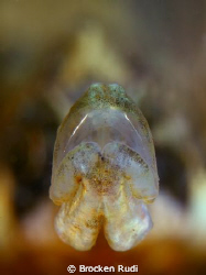 mouth small pipefish by Brocken Rudi