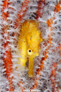 Yellow Seahorse @ Richileu Rock by Patrick Neumann