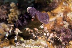 Amazing decorator crab found on Adara wall (Atauro Island... by Greg Duncan