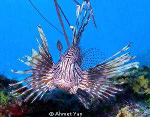 Brave heart, Lion fish... by Ahmet Yay