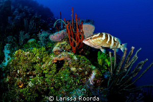 Grouper scene_Little Cayman by Larissa Roorda