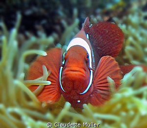"""Clown Fish"" in anenome in Lembah Strait. by Claudette Muller"
