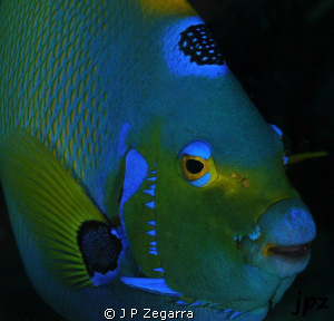 queen angelfish close-up... by J P Zegarra