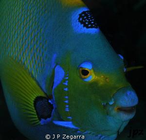 queen angelfish close-up... by J P Zegarra