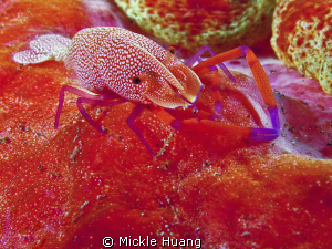 Close up of an Emperor Shrimp riding  on Spanish Dancer
