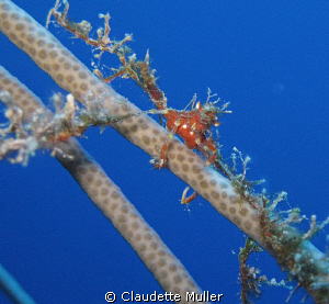 """Just Hangin'"" - Decorator Crab holding on!