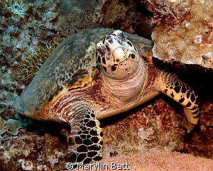 Lovely Hawksbill Turtle Just watching the tourists. by Marylin Batt