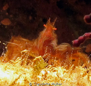 """Here's """"Hairy""""! - A cute Orangetan crab! Found this hairy... by Claudette Muller"""