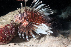 Now very common Lion Fish. One of the bigger ones I've se... by Nathan Cook